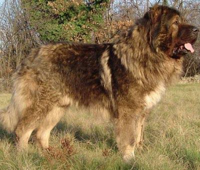 Чопан ит – туркменские волкодавы